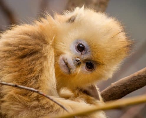 Born in China Still - Golden Snub-nosed Monkey