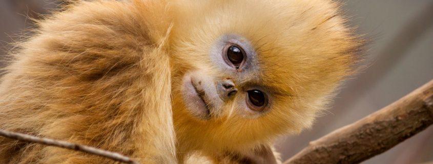 Born in China Still - Golden Snub-nosed Monkey
