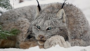 the-canadian-lynx