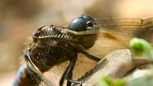 Medieval Monsters Dragonfly