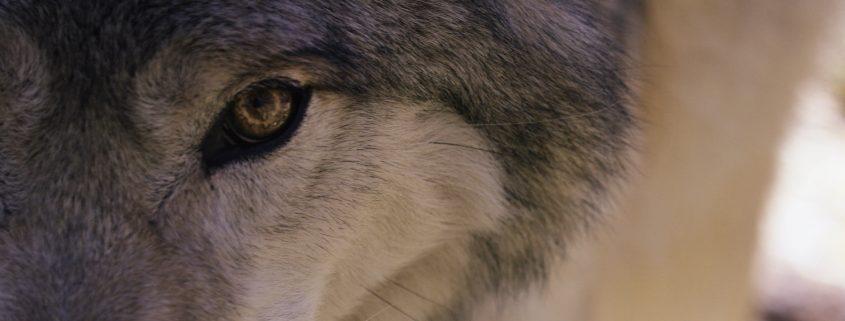Canis Lupis Colorado Still - Wolf Eye by Eric Bendick & Thomas Winston