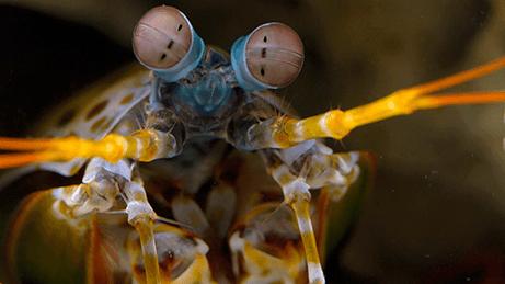 Deep Look Shrimp