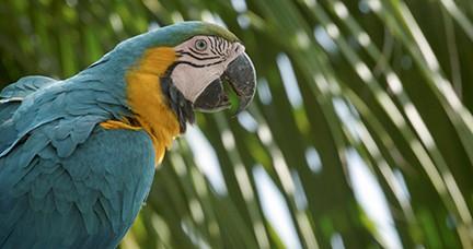 Parrots in Peril