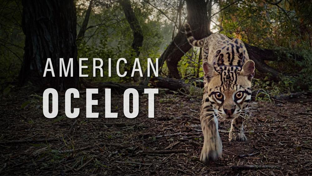 American Ocelot