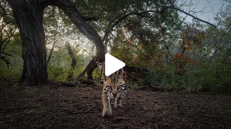 American Ocelot Trailer